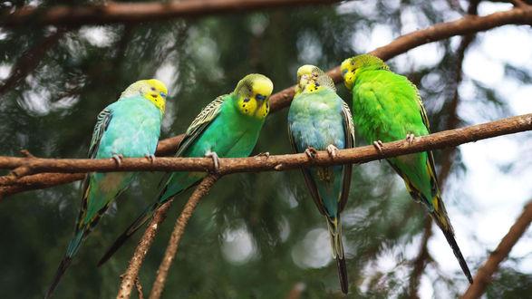 Обои Волнистые попугаи сидят на ветке