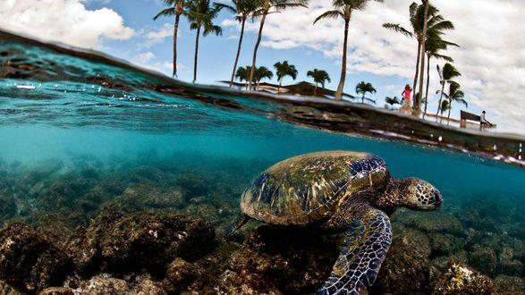 Обои Черепаха плавает в прозрачном океане