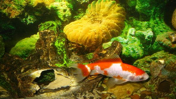 Обои Золотая рыбка в аквариуме