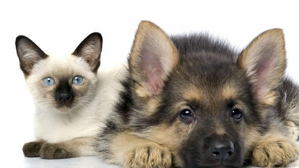 Обои Сиамский кот и овчарка