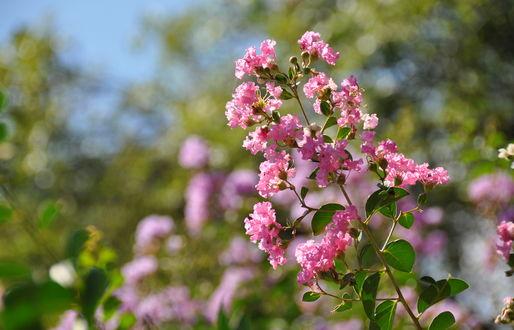 Обои Розовые цветы - душица