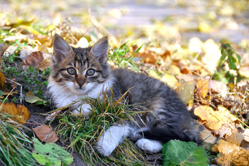 Обои Котенок лежит на осенних листьях