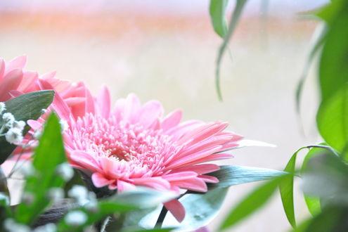Обои Розовые хризантемы