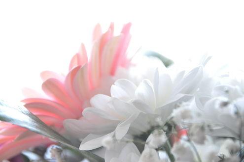 Обои Нежные хризантемы