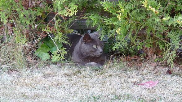 Обои Серый кот притаился в кустах