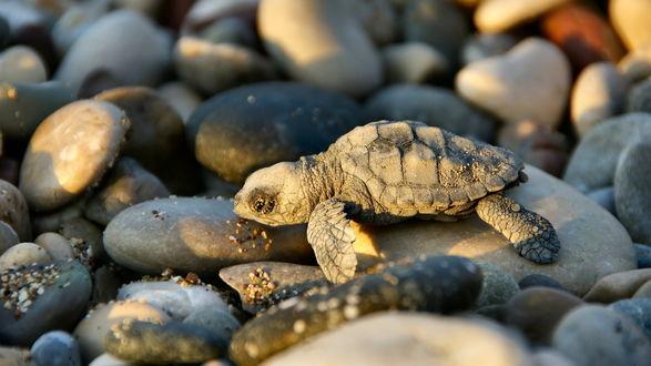 Обои Маленькая черепашка лежит на камнях