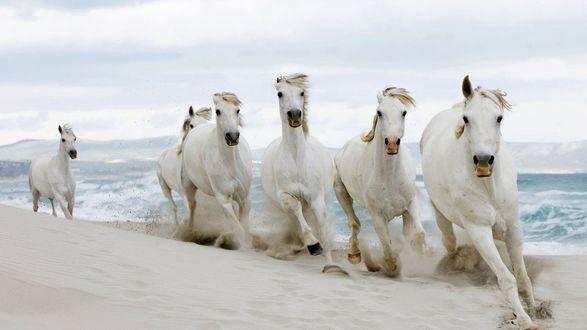 Обои Белые кони бегут по берегу пляжа