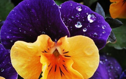 Обои Цветок виолы в каплях росы