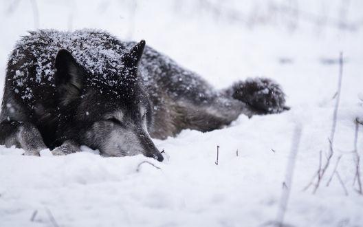 Обои Спящий волк на снегу