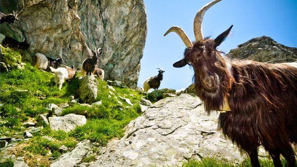 Обои Горные козлы пасутся под горой