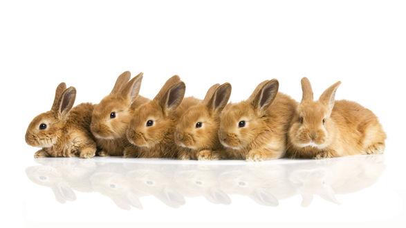 Обои Кролики на белом фоне