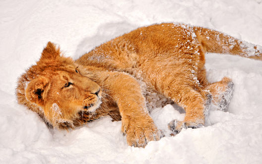 Обои Молодой лев лежит в снегу
