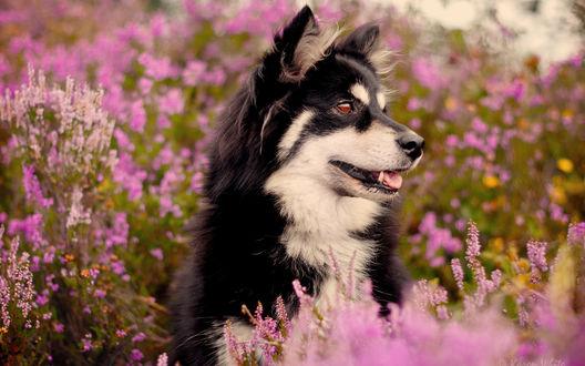 Обои черно-белая собака в цветочном поле
