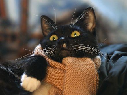 Обои кот в шарфике