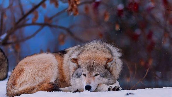 Обои Волк лежит на снегу