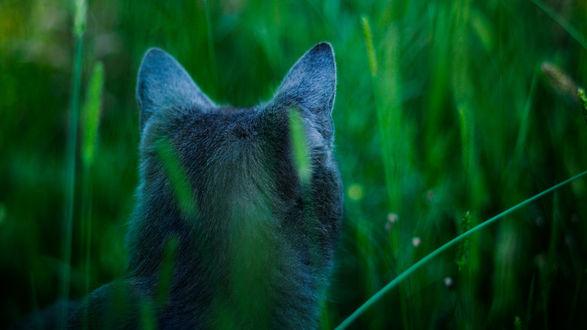 Обои Пепельный кот сидит в траве