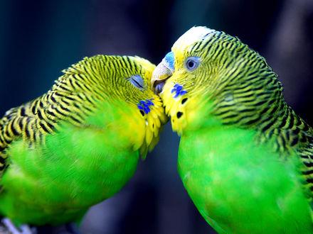 Обои Зелёные волнистые попугайчики