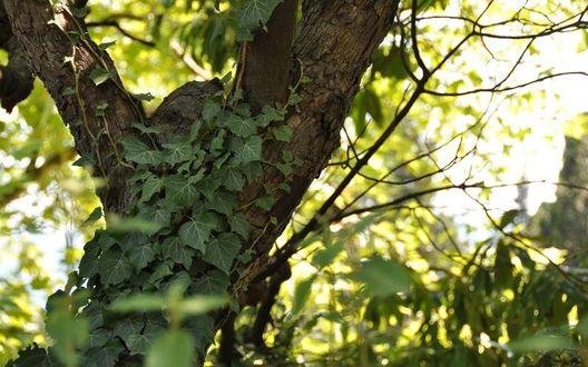 Обои Плющ на дереве