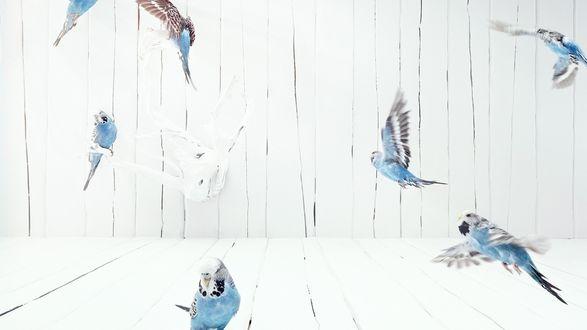 Обои Волнистые попугаи летают в клетке