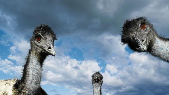 Обои Смешные страусы на фоне неба