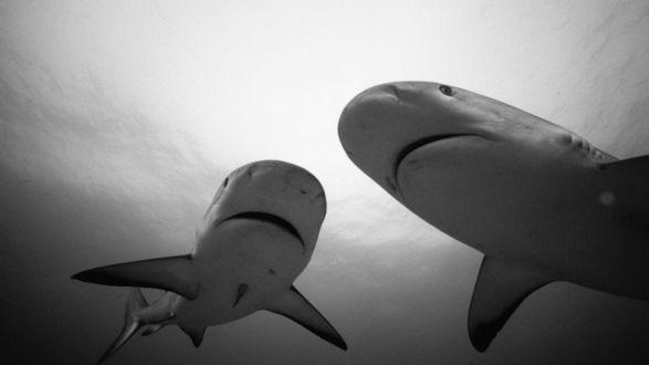 Обои Пара молодых акул