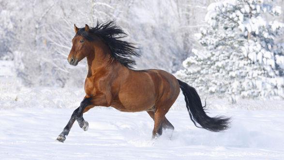 Обои Гнедой конь бежит по снегу