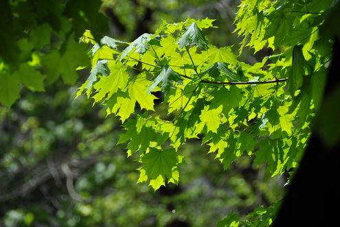 Обои Листья клена на солнечном свете