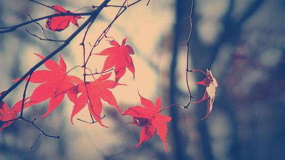 Обои Красные листья.