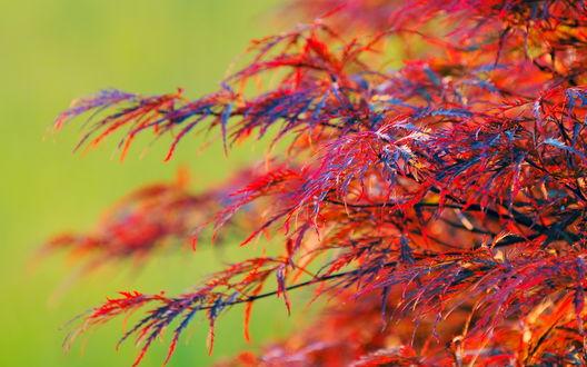 Обои Куст с красными листьями