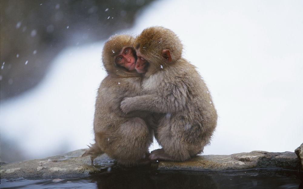 Обои для рабочего стола Две обезьянки греются друг о друга