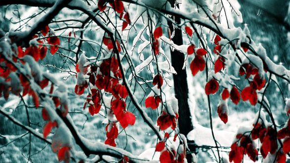 Обои Не опавшие красные листья усыпанные снегом