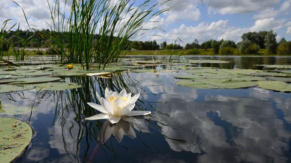 Обои Кувшинки на болоте