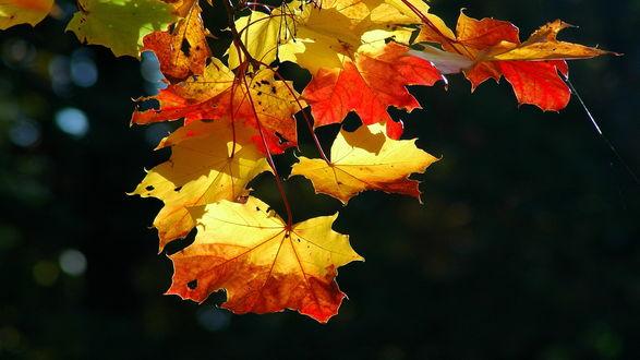 Обои Красно-жёлтые,осенние листья