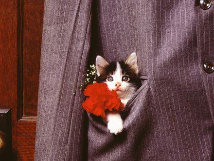 Обои Котёнок выглядывает из кармана пиджака