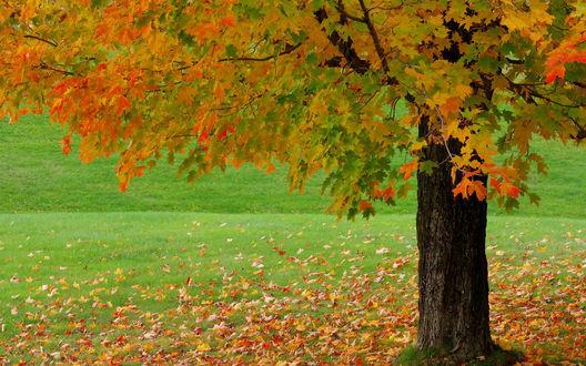 Обои Клен стоит на поле в осенних листьях