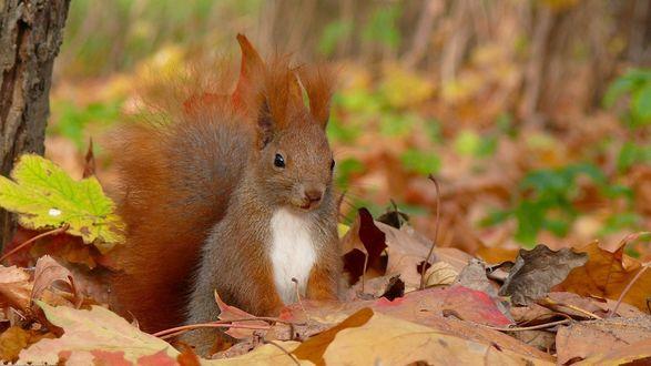 Обои Белка сидит в осенних листьях