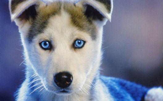 Обои Милый щенок собаки Хаски