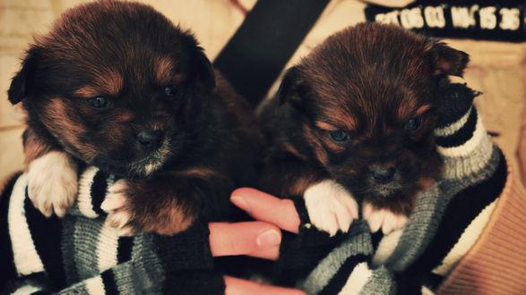 Обои Два щенка сидят на ручках