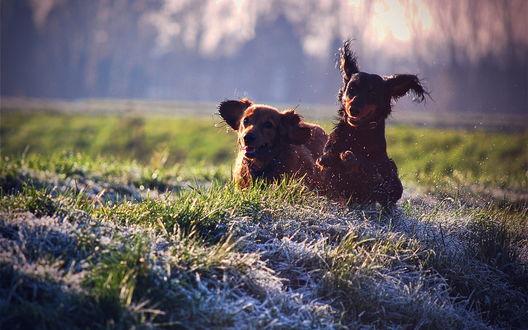 Обои Два играющихся щенка бегут по травке