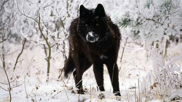 Обои Чёрный волк в зимнем лесу