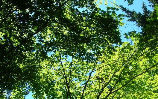 Обои Густые,зелёные верхушки деревьев