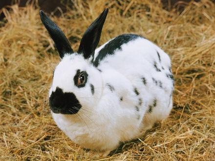 Обои Чёрно-белый кролик на сене