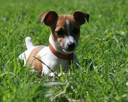 Обои Маленький Джек-Рассел терьер бегает по траве