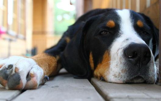 Обои Собака, протянув лапку, отдыхает, лежа на дороге