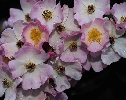 Обои Розовые цветы вишни