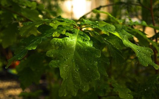 Обои Листья дуба в капельках