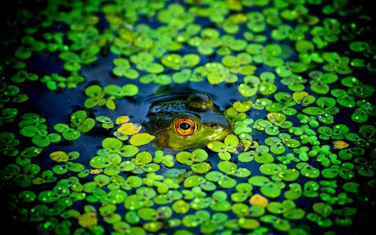 Обои Лягушка сидит в озере, высунув только морду