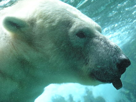 Обои Белый медведь под водой показывает язык