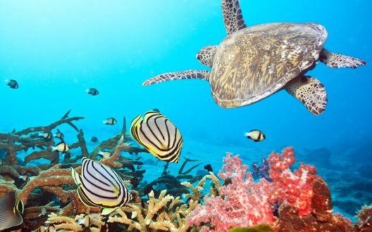 Обои Черепаха и рыбки плавают на дне океана возле рифов и кораллов