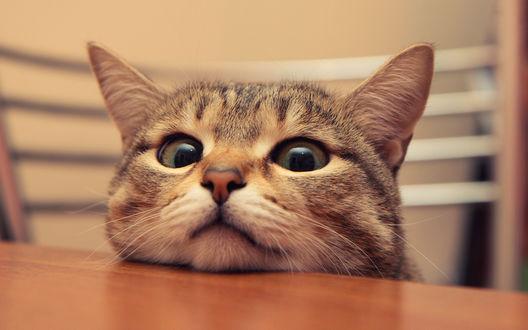 Обои Любопытный кот положил морду на стол